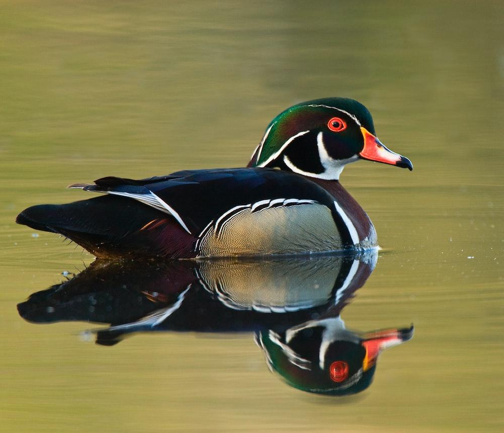 photo of male mallard duck on body of water
