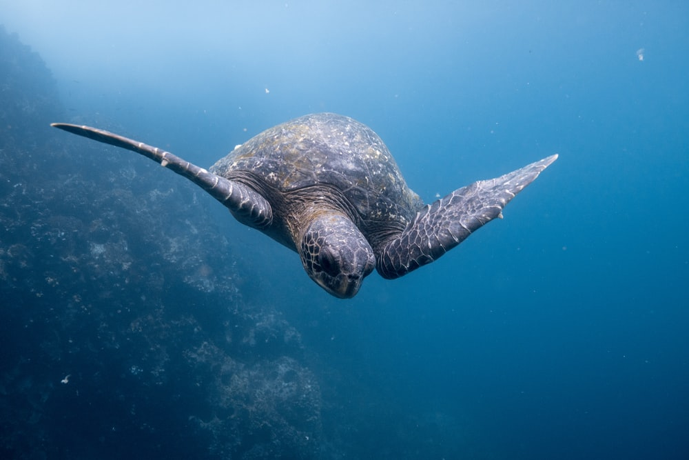 underwater photography of sea turtle