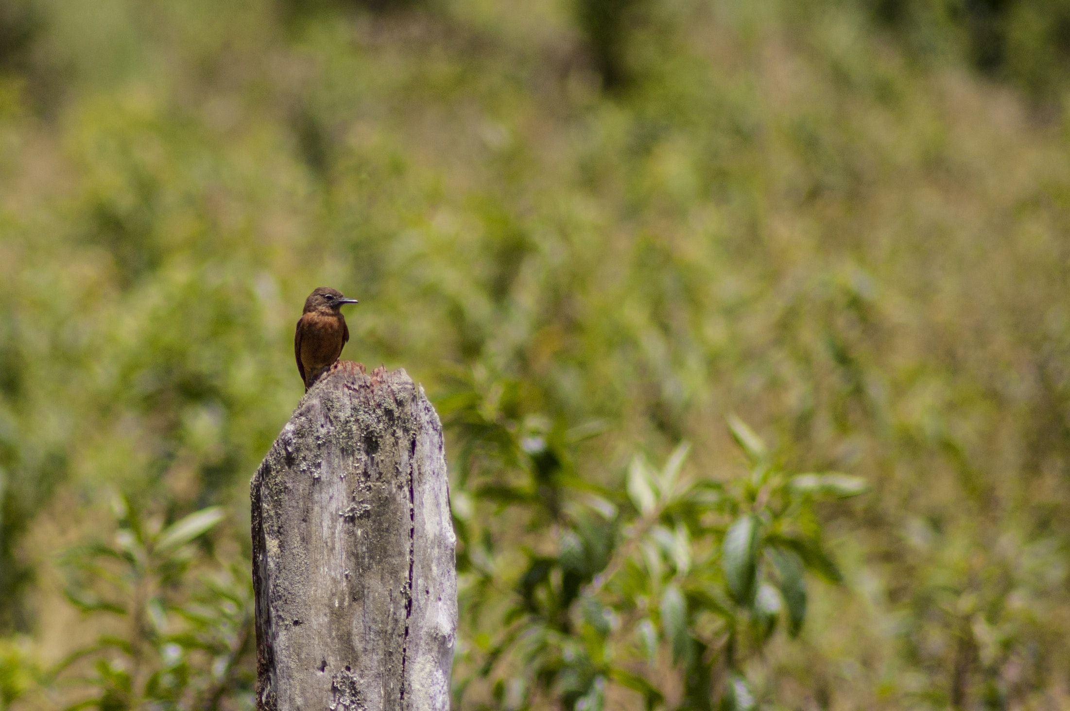 brown small beak bird on gray post