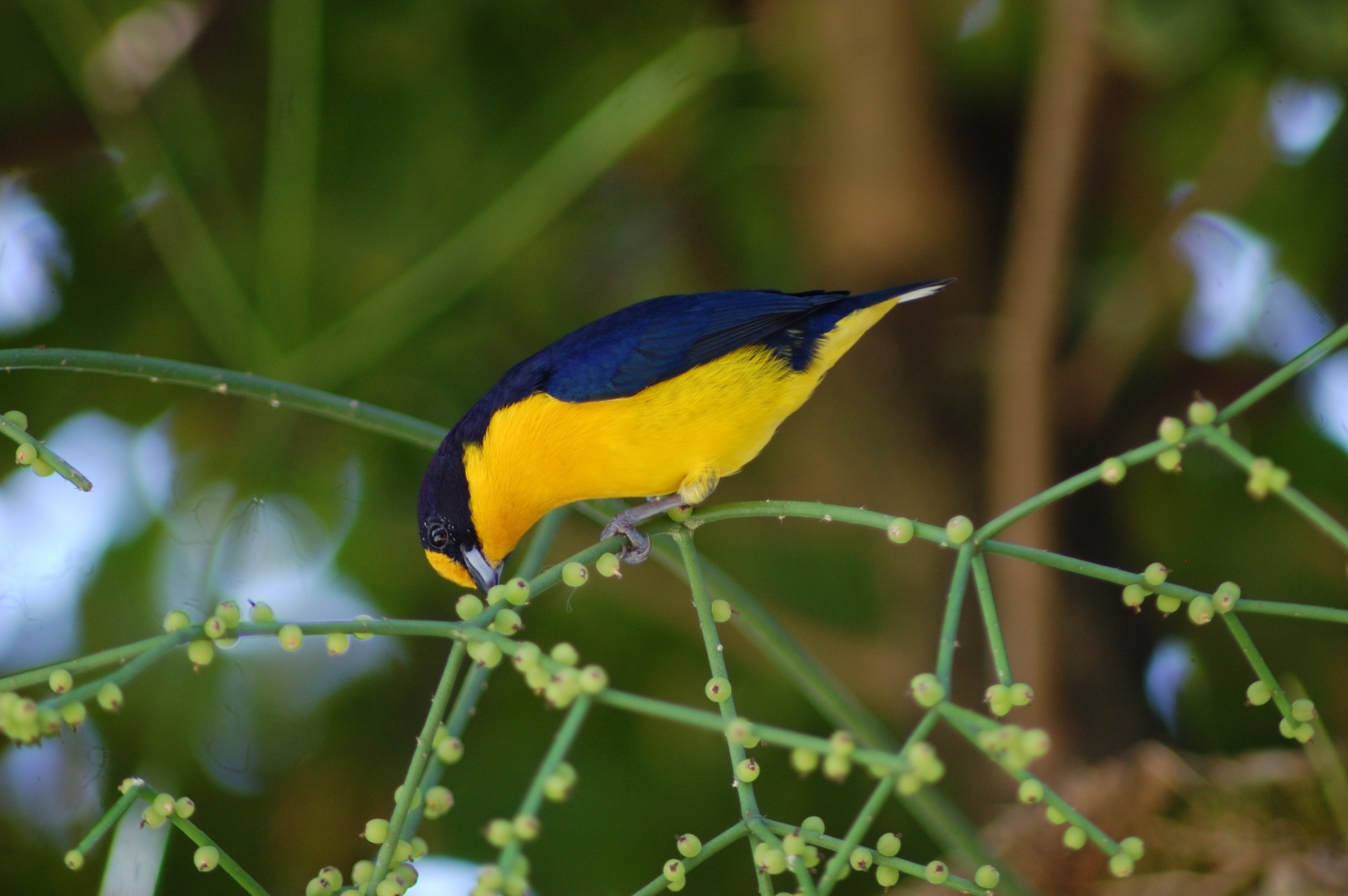 close-up photo of yellow and blue bird