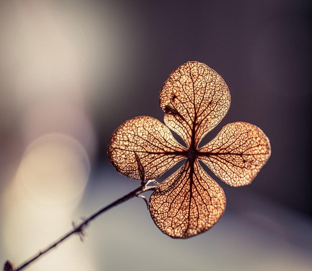 focus photo of brown hydrangea flower