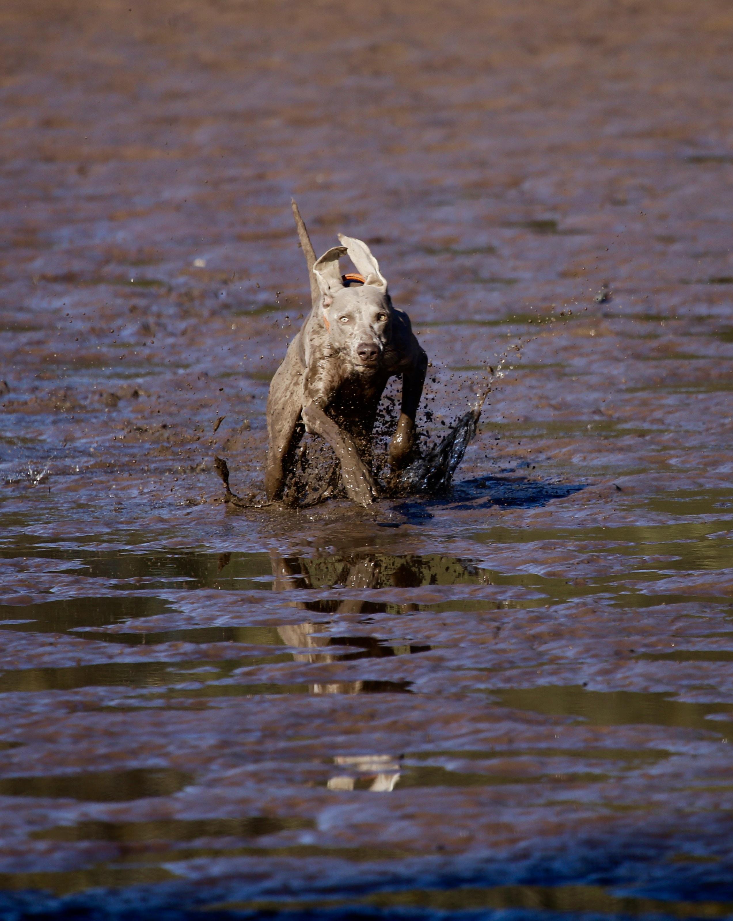 grey dog running on mud during daytime