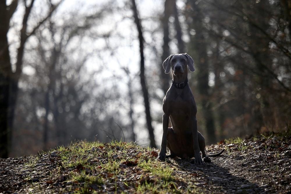 large-sized short-coated black dog sitting on ground surrounded by trees