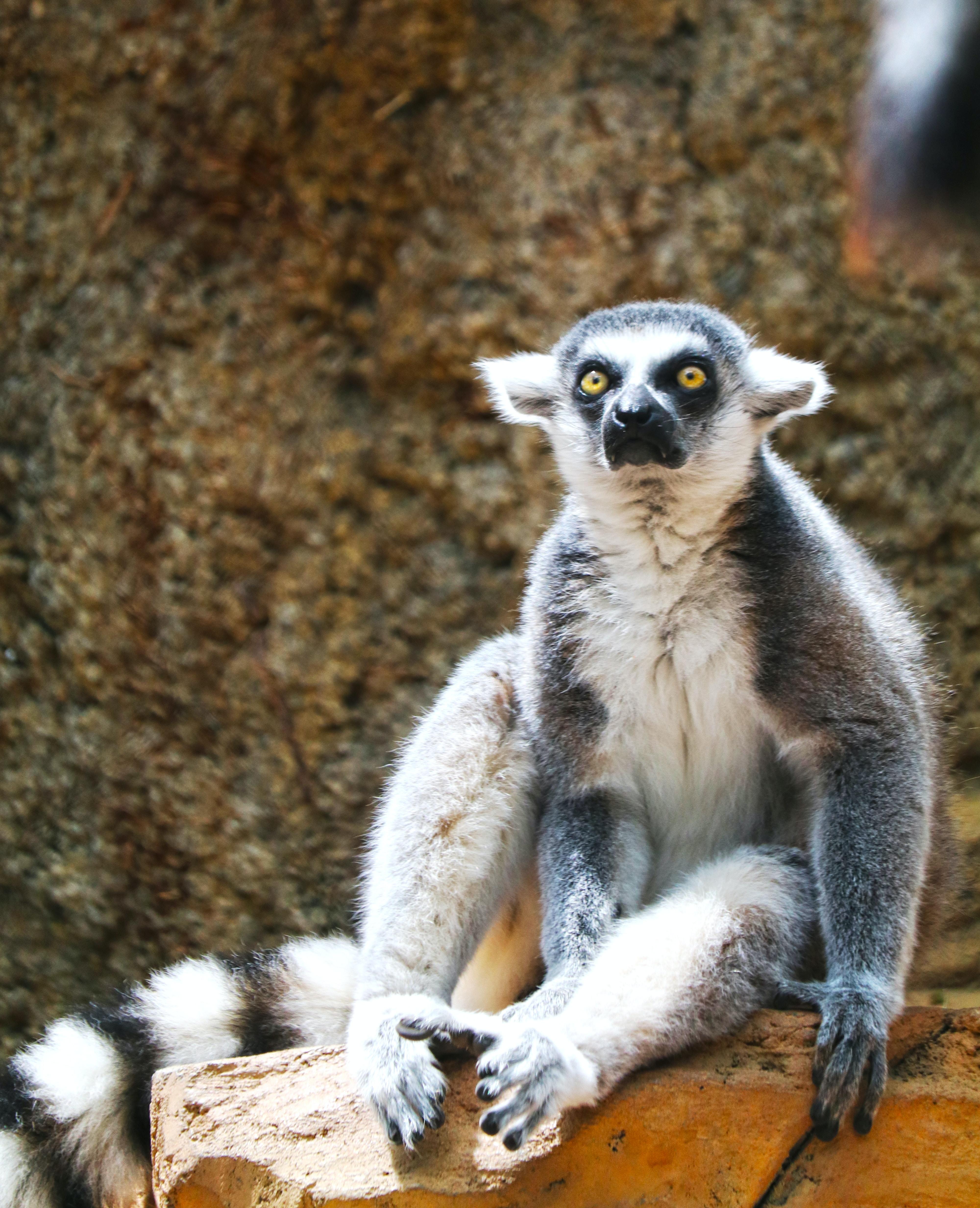 black and white lemur sitting down on brown rock