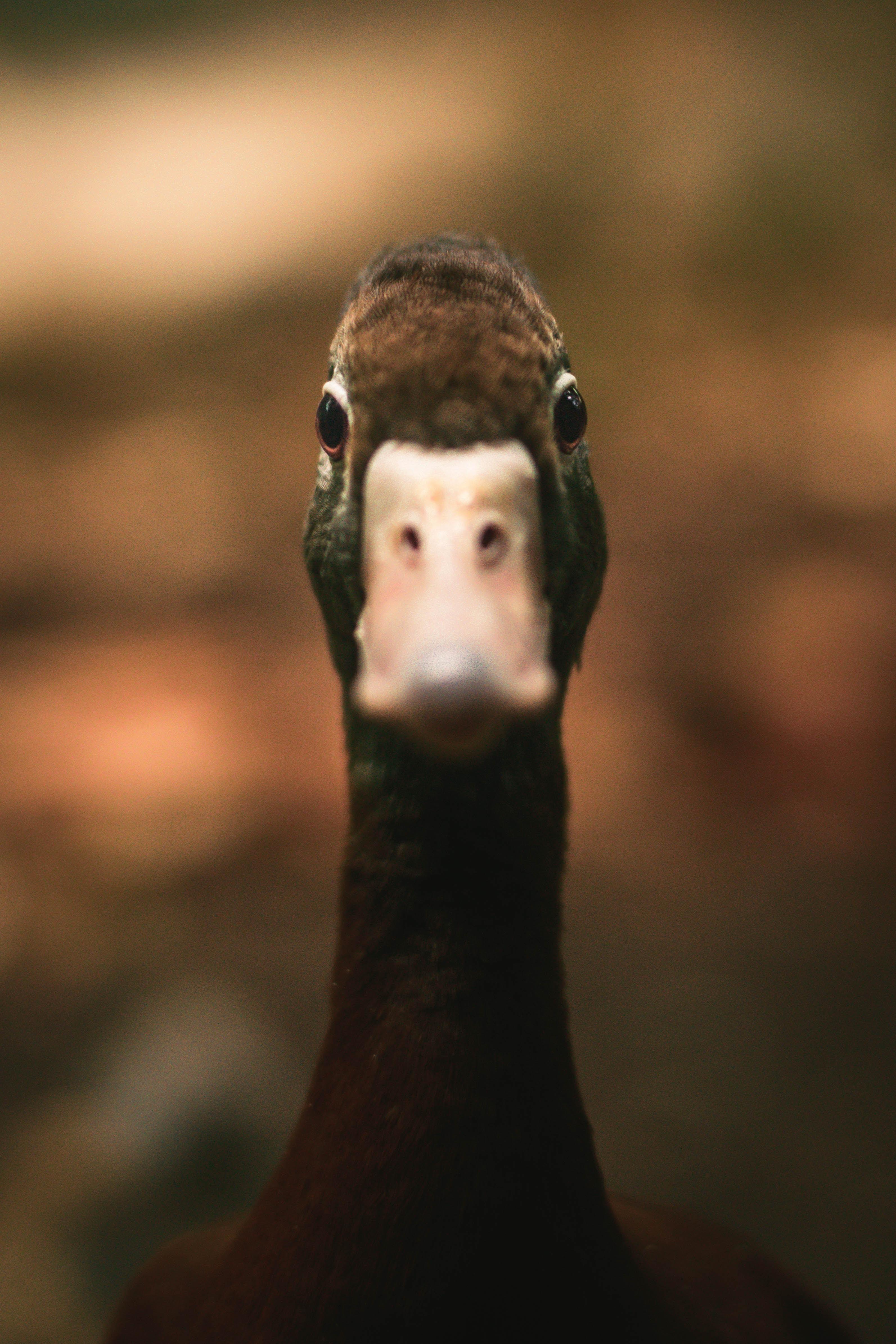 closeup photo of duck face