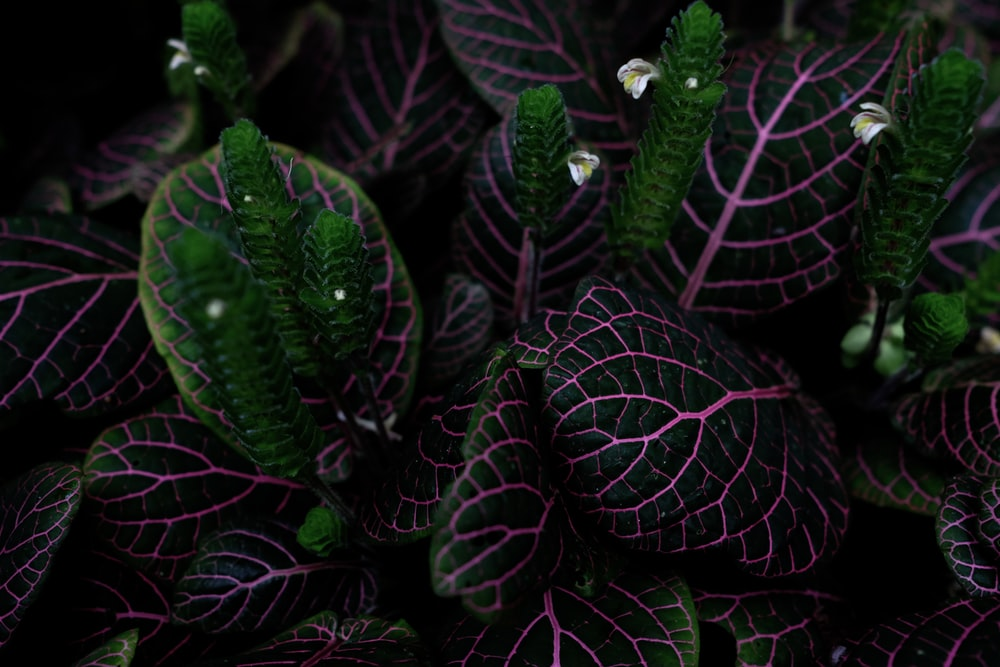 green-and-pink leafed plant