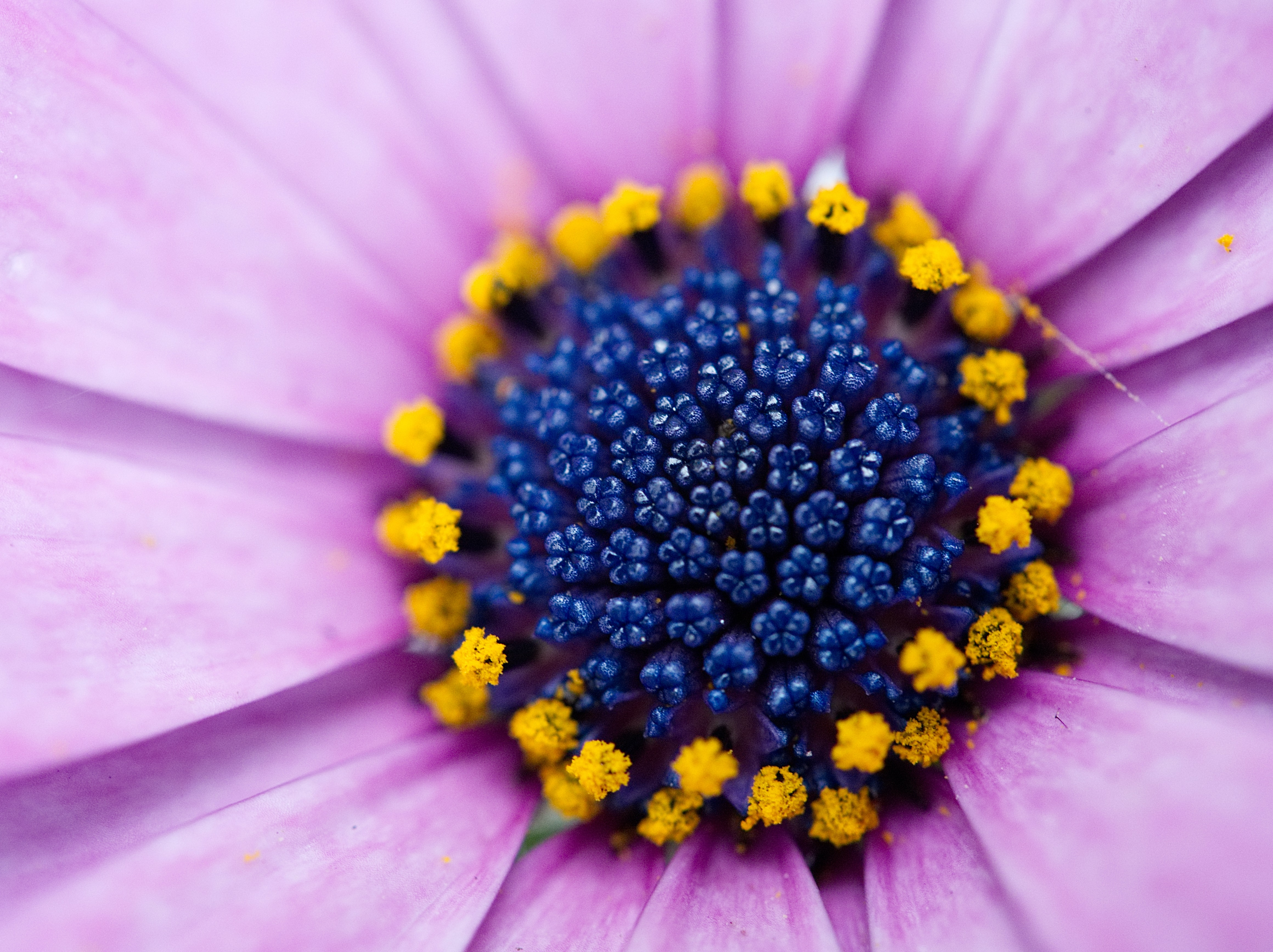 shallow focus photography of blue and pink petaled flower