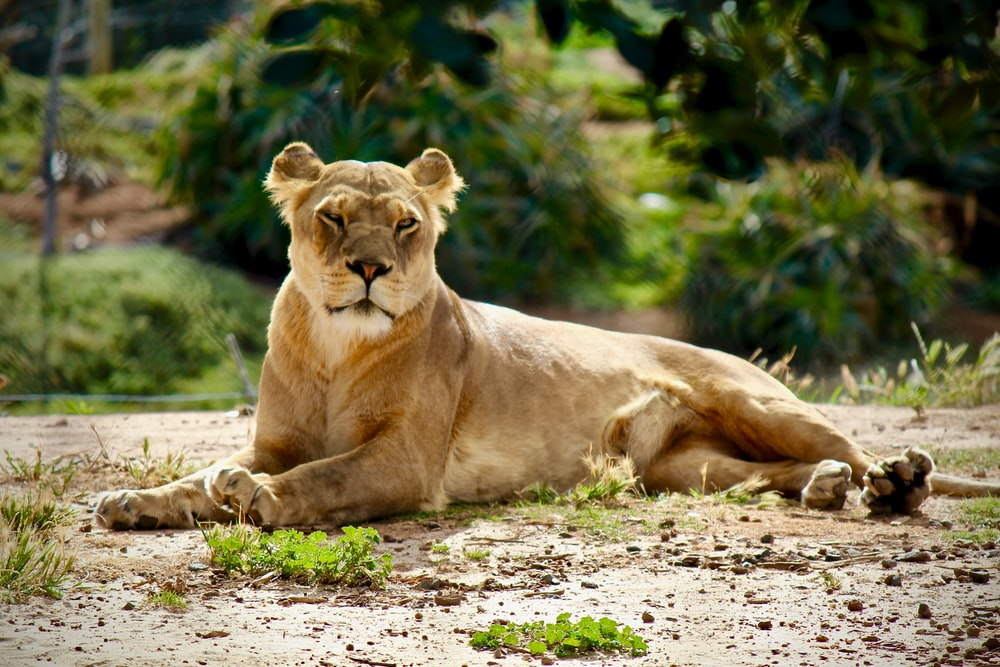 lioness lying on green grass