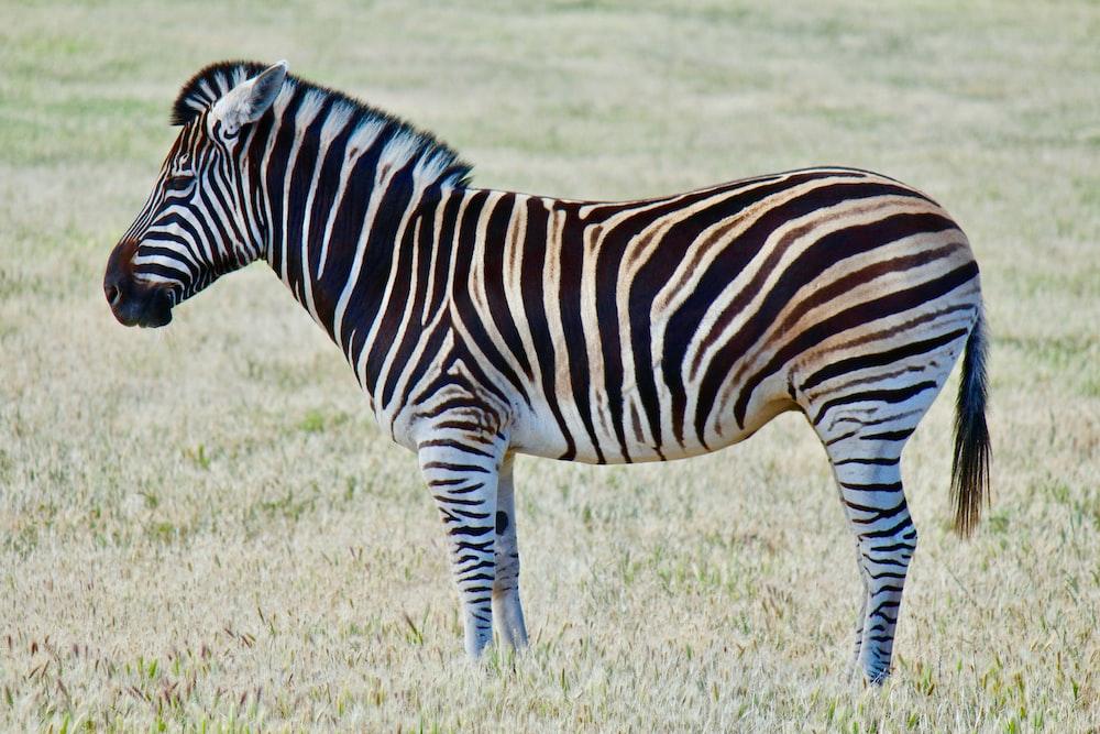 zebra on green grass field during daytime photo