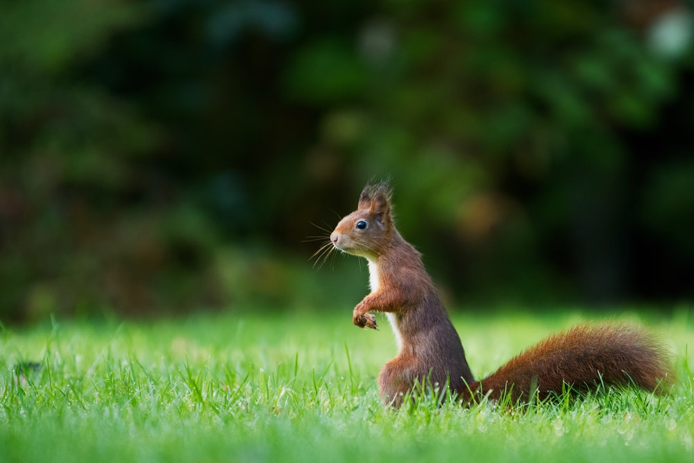 selective focus photography of brown squirrel standing on green grass during daytime