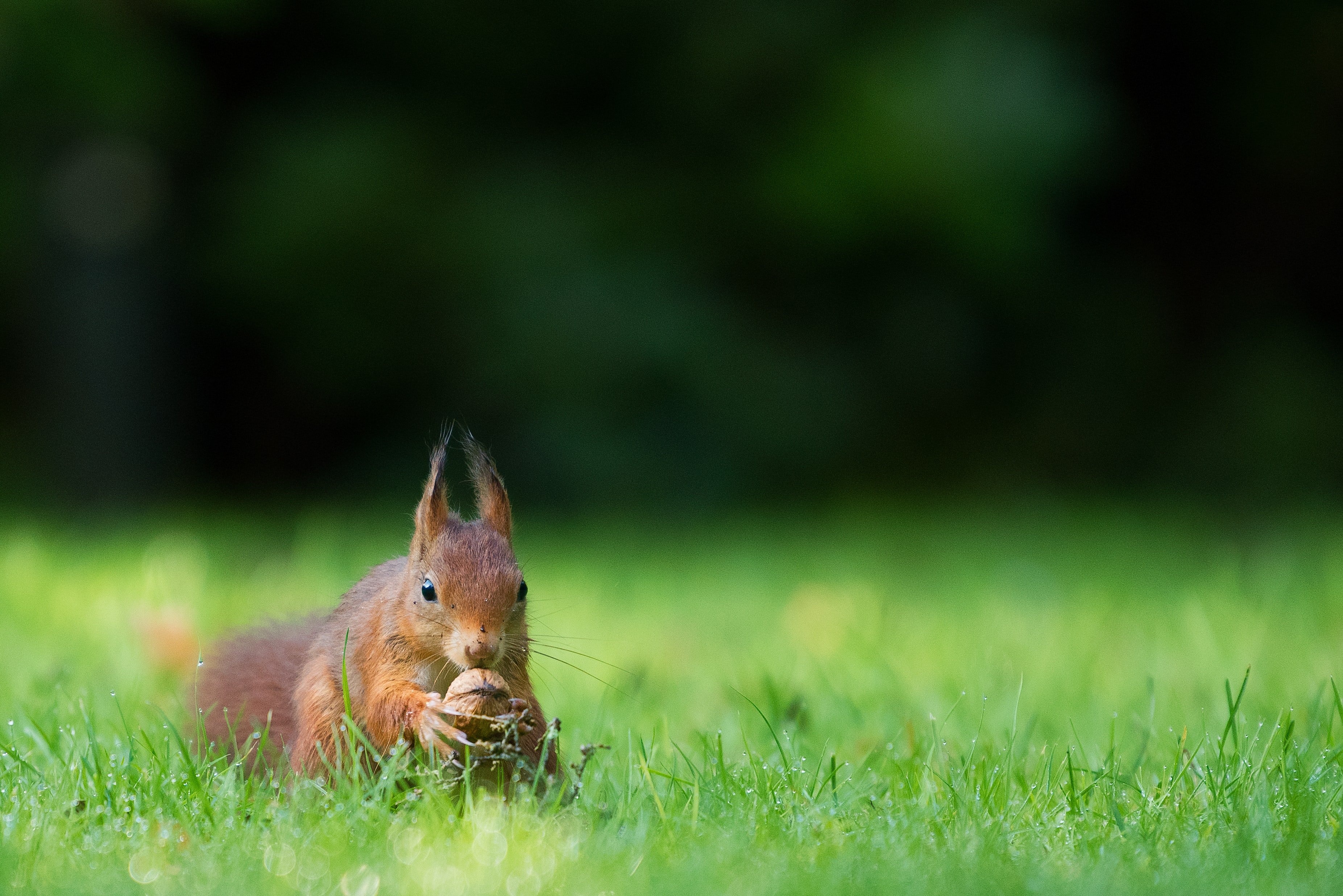 tilt-shift lens photography of brown squirrel holding nut on green grass during daytime