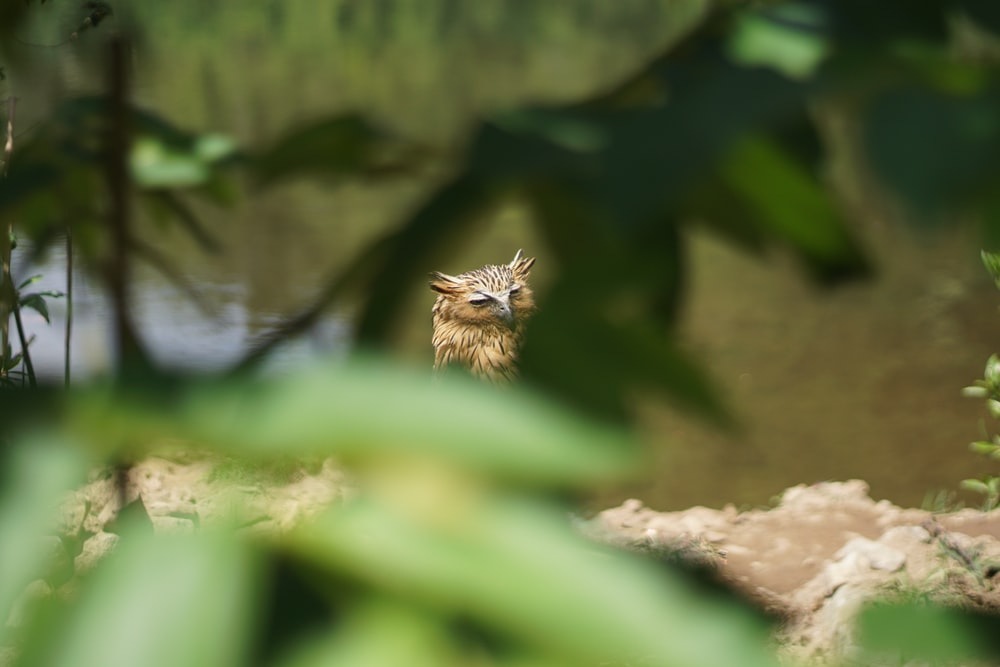 Eurasian Eagle-Owl perching on brown surface selective focus photography