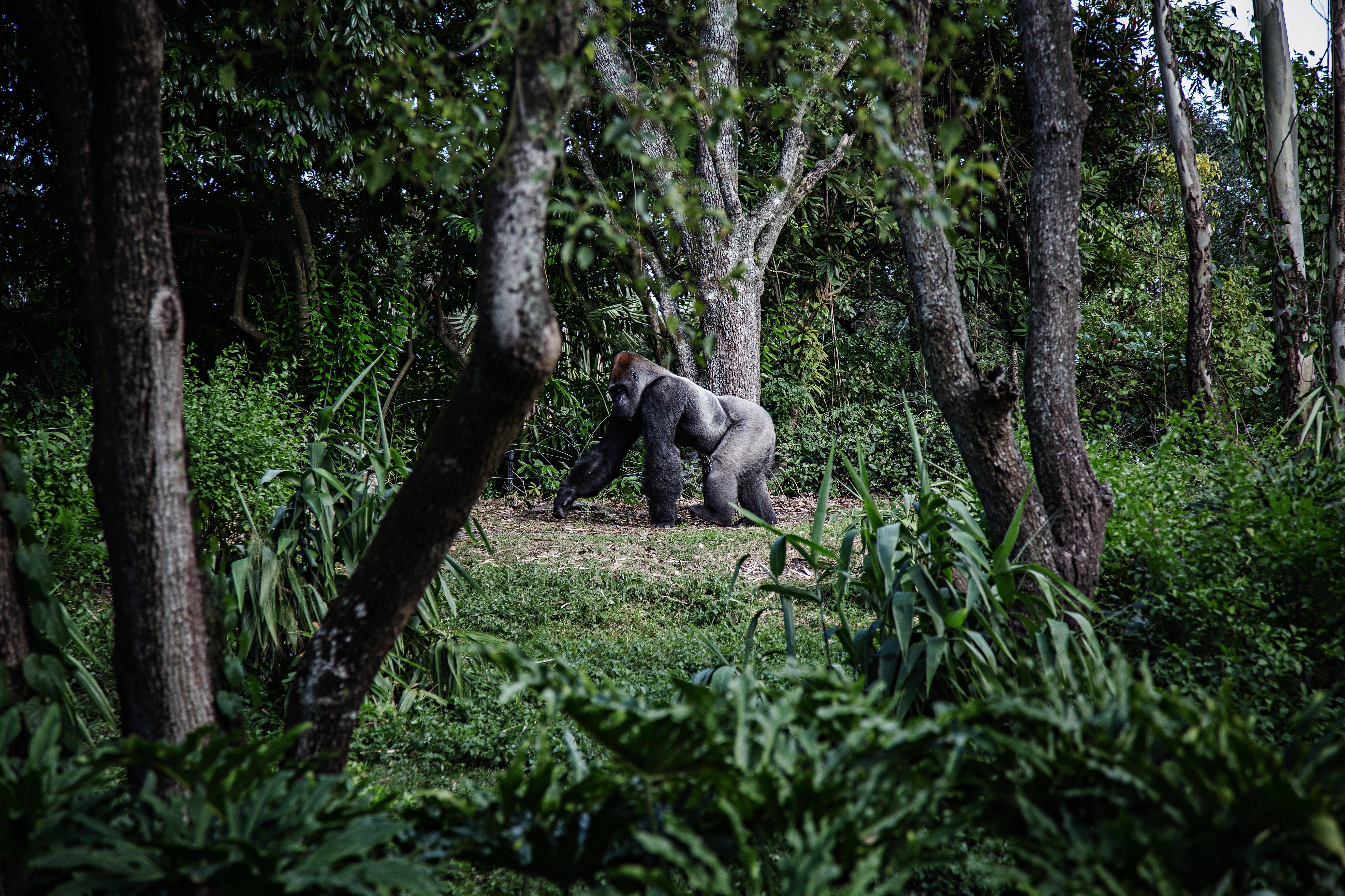 photo of silver-back gorilla beside tree