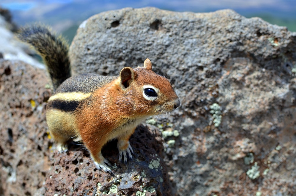 brown and black squirrel standing on rock