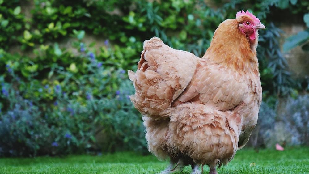 brown hen standing on green open field