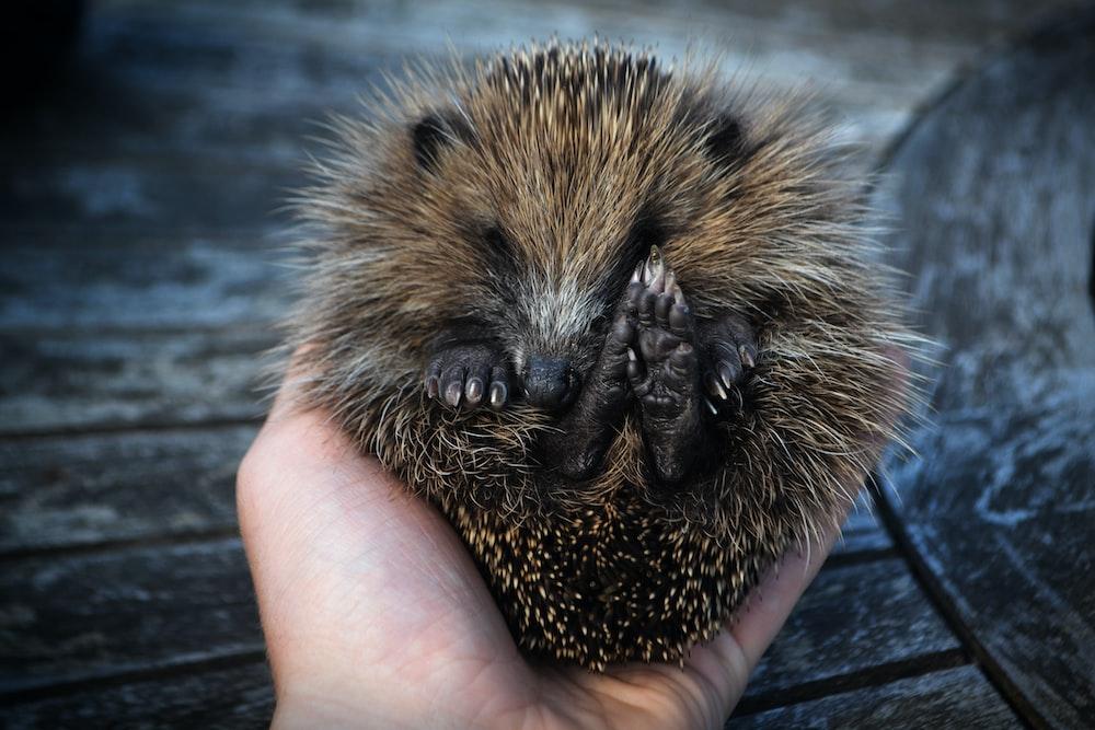 person holdingi brown hedgehog