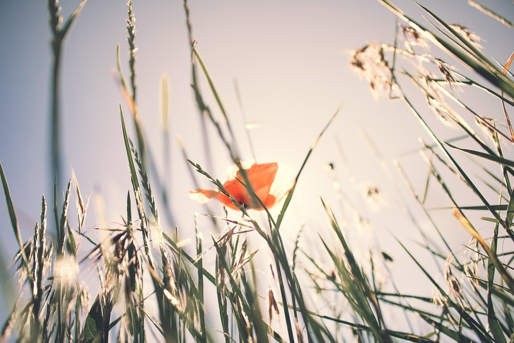 selective focus photo of orange petaled flower surrounded by grass