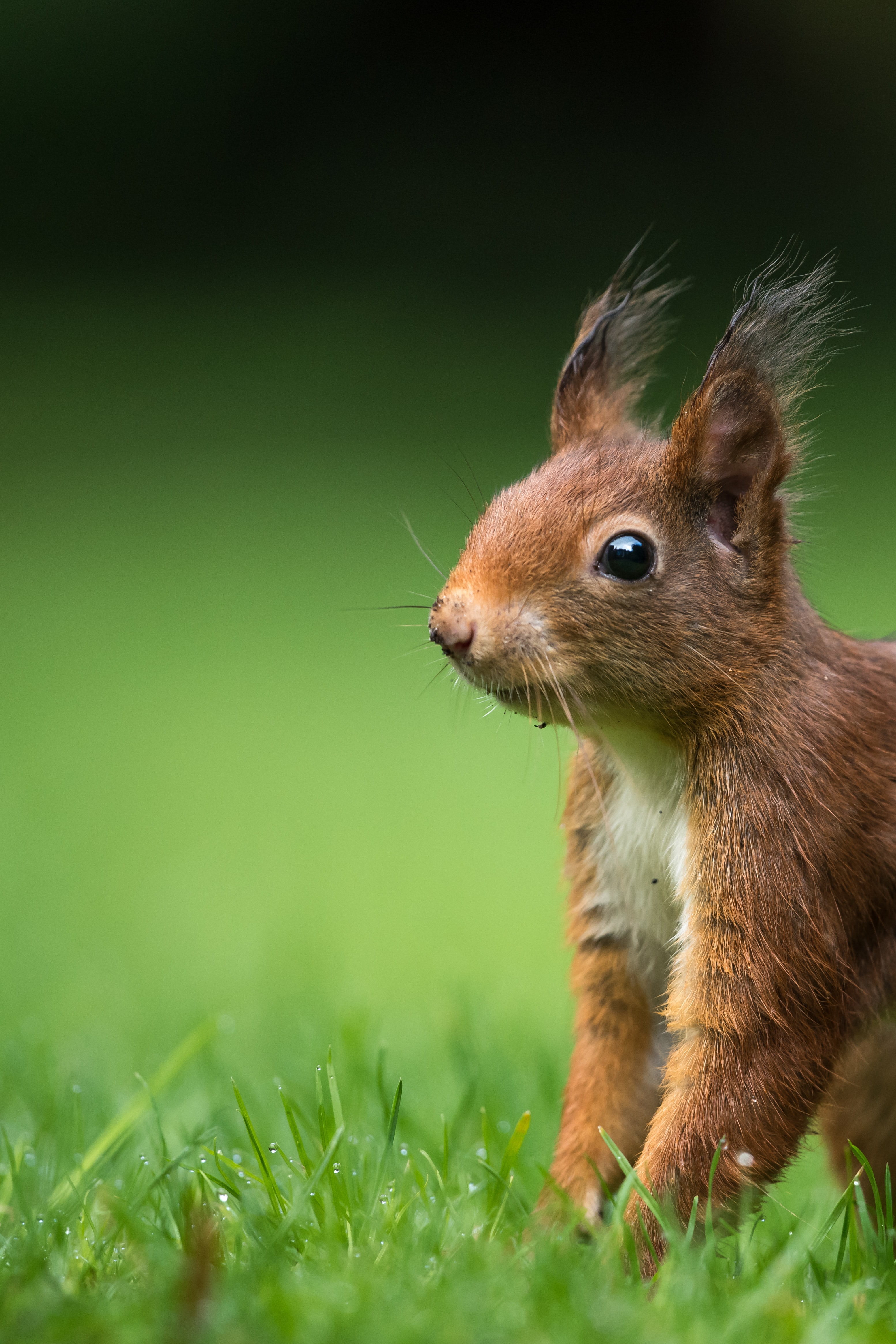 tilt-shift lens photography of brown squirrel on green grass during daytime