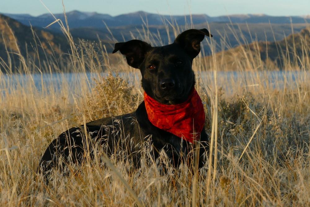 closeup photo of black dog on beige grass field