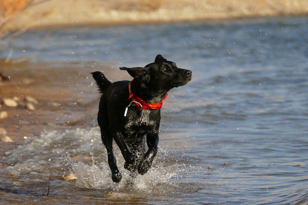 black dog running near body of water