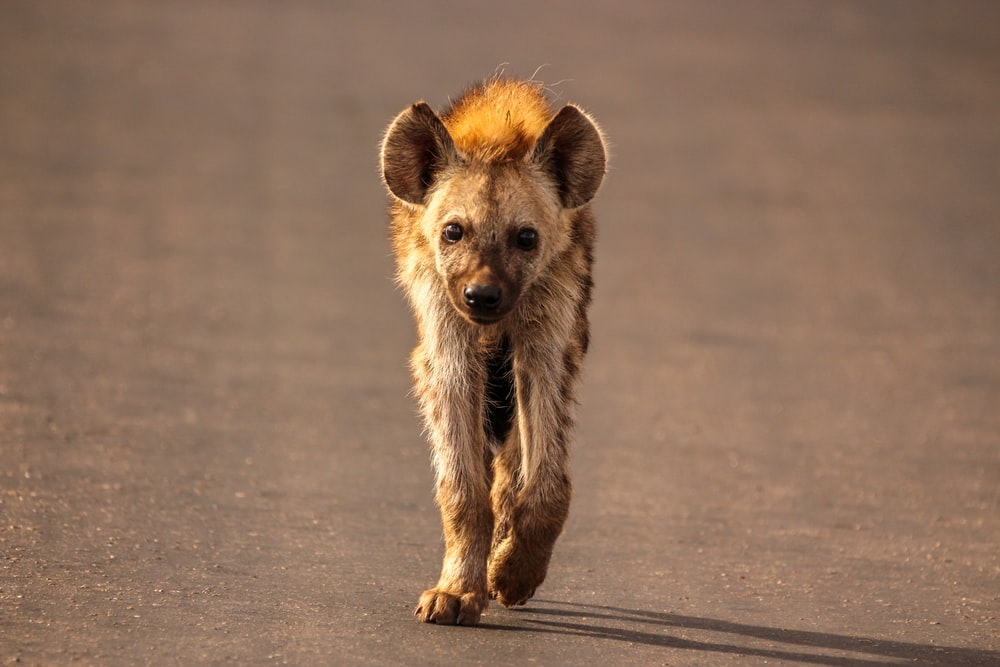 Hyena walking on road
