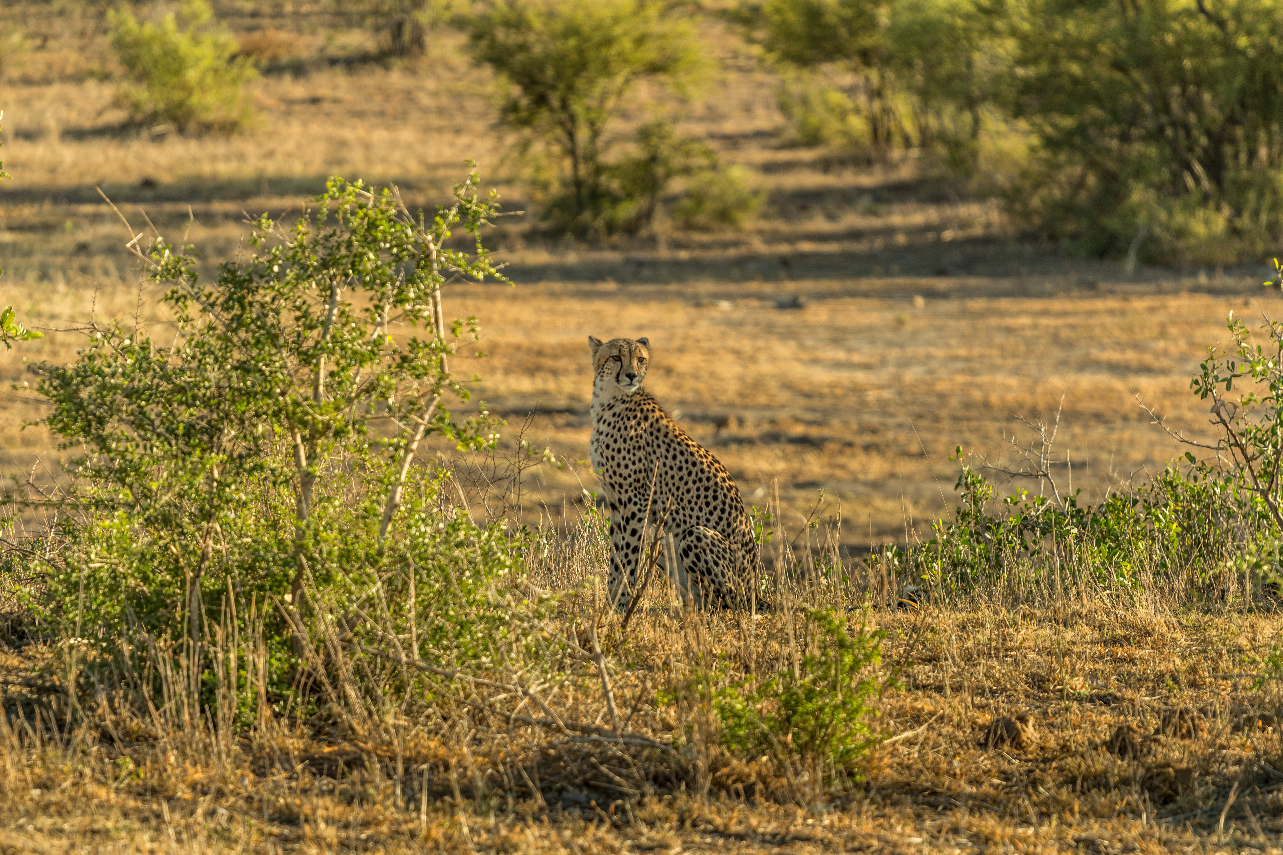 cheetah sitting next to grasses