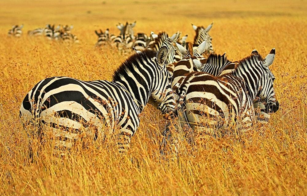 herd of zebra on grassland during daytime