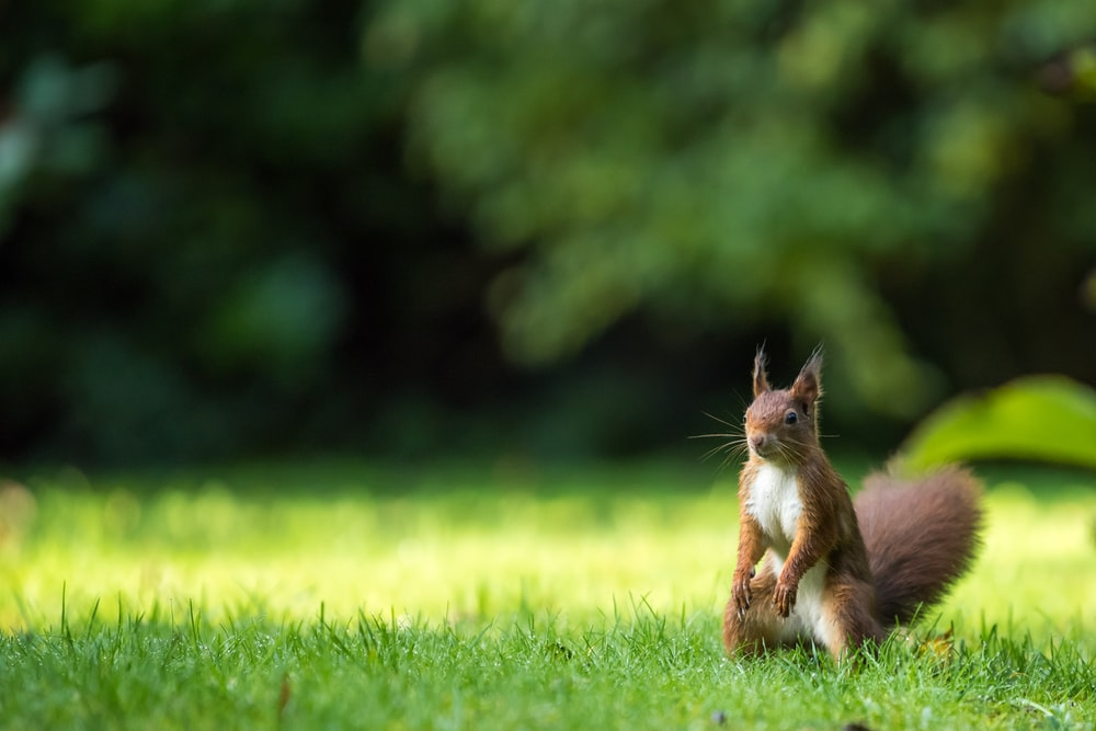 brown squirrel on green grass lawn