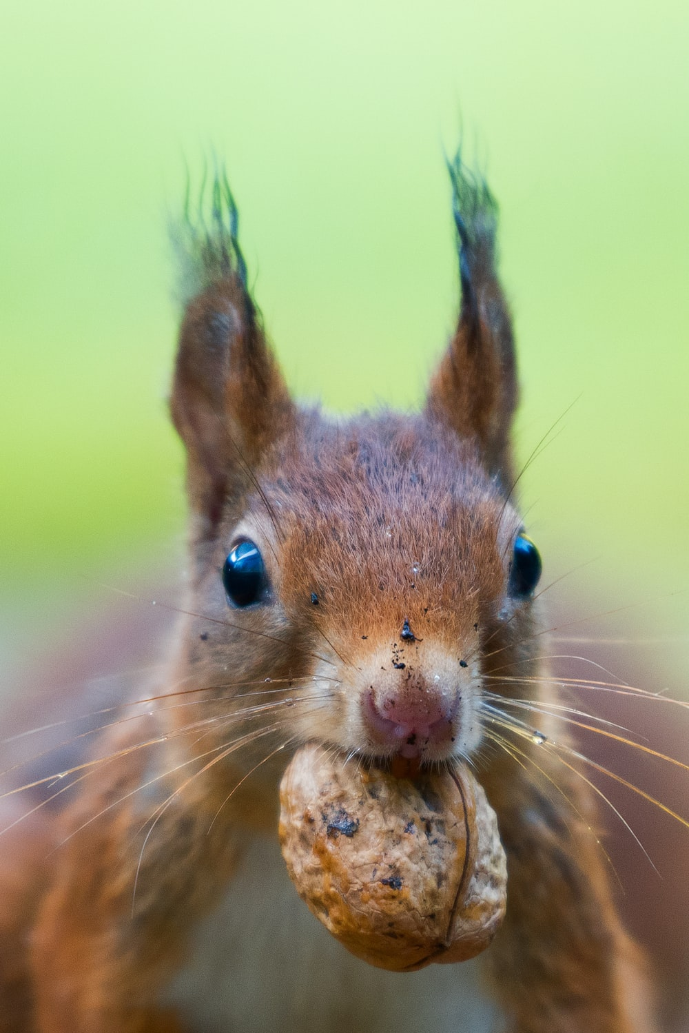 focus photo of squirrel bating a brown walnut