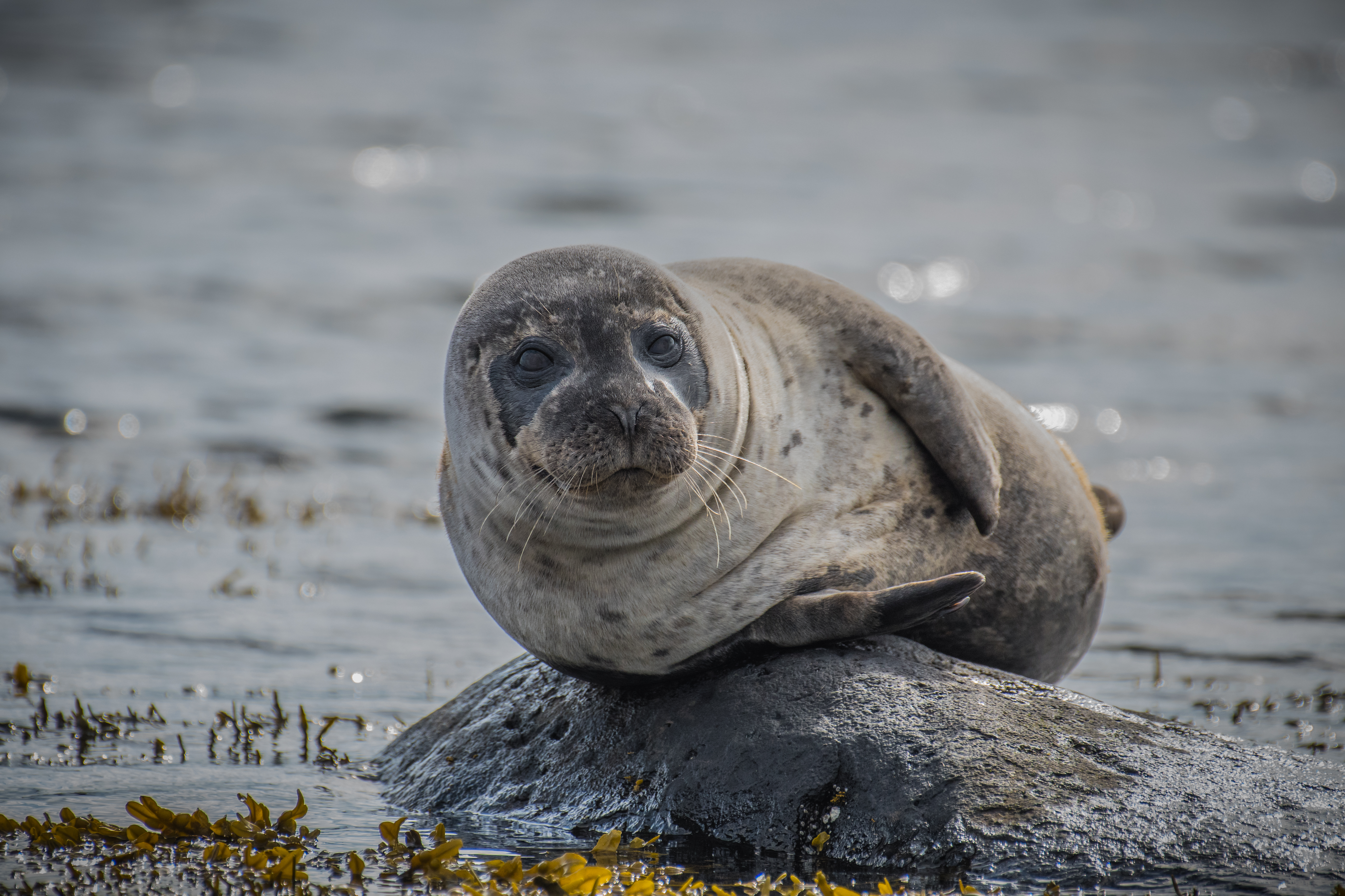 The male seals are always lying on the best places or biggest stones. The girls should see him. A lot of time he's just posing for them.