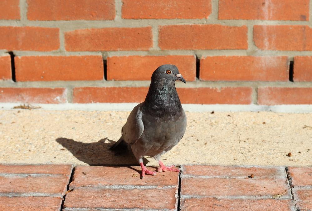 black pigeon on brown concrete bricks