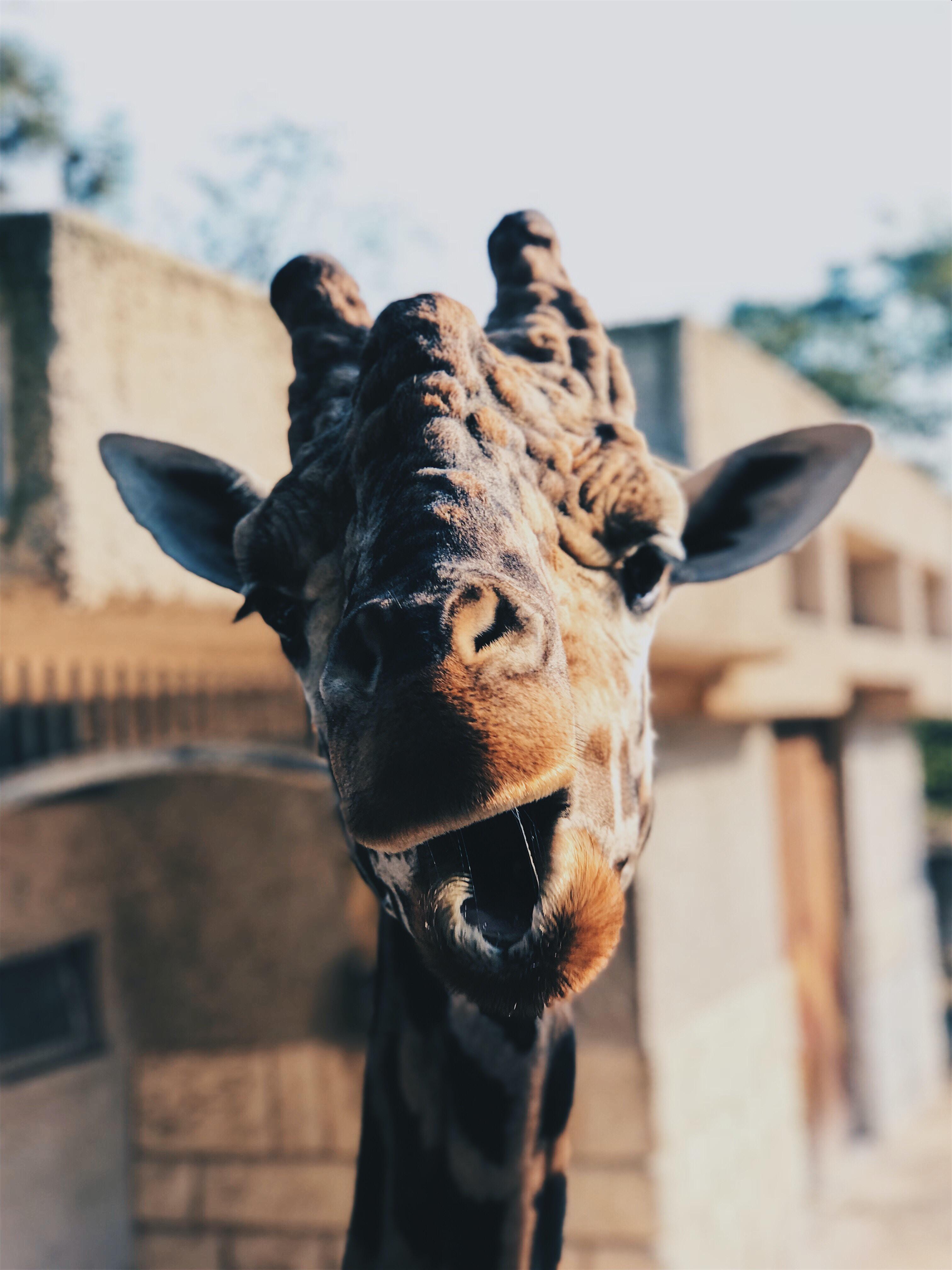 brown Giraffe face