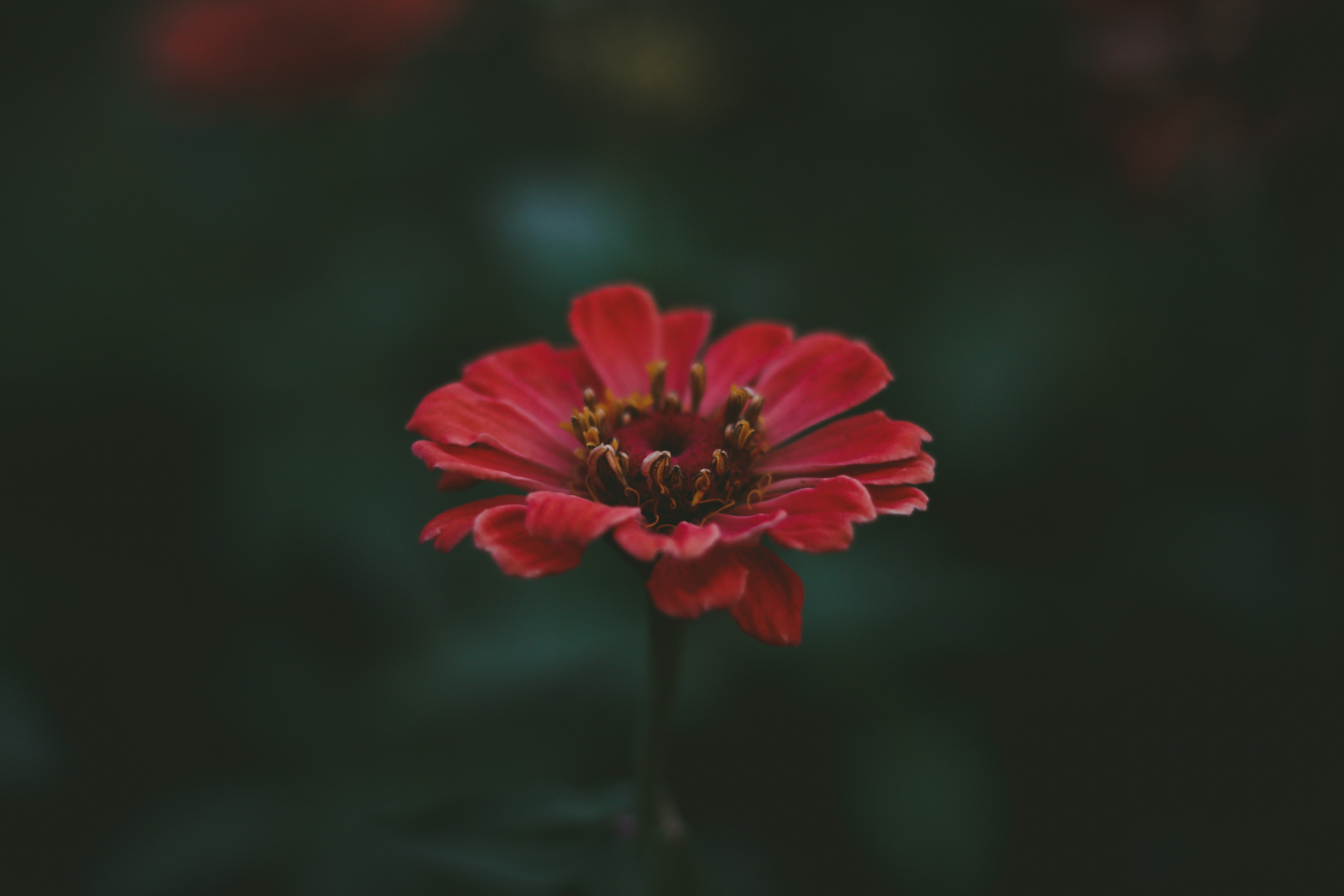 focus photography of red petaled flower