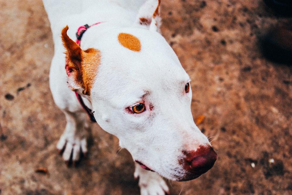 adult short-furred white and tan dog walking
