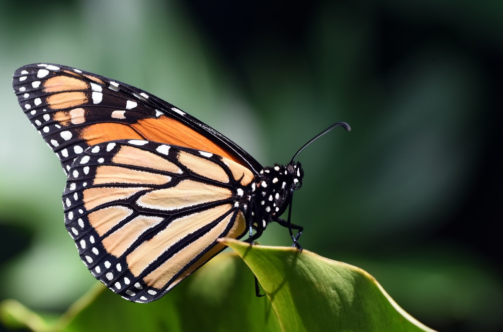 Monarch butterfly on green leaf macro photography