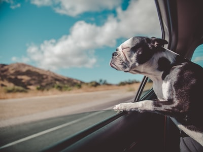 boston terrier inside a vehicle pet teams background