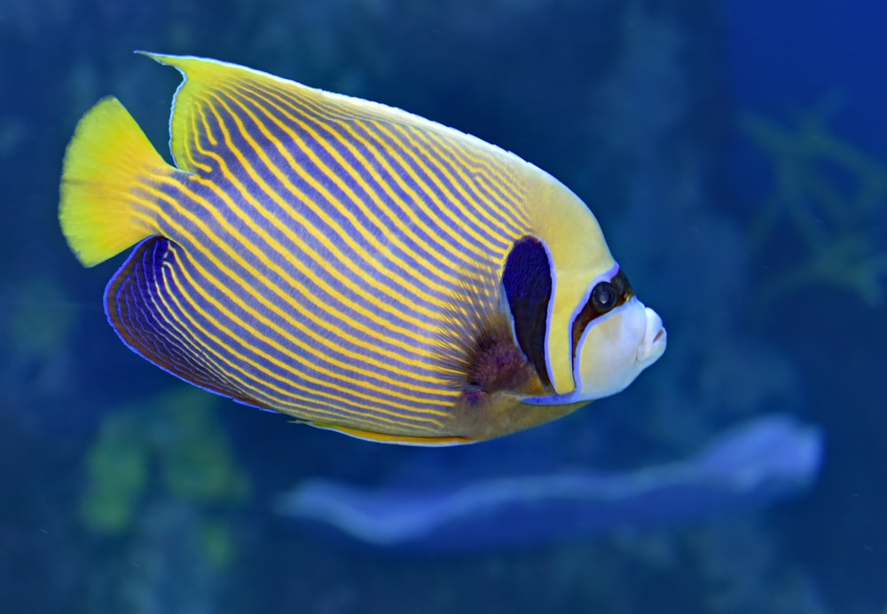 yellow, blue, and black fish