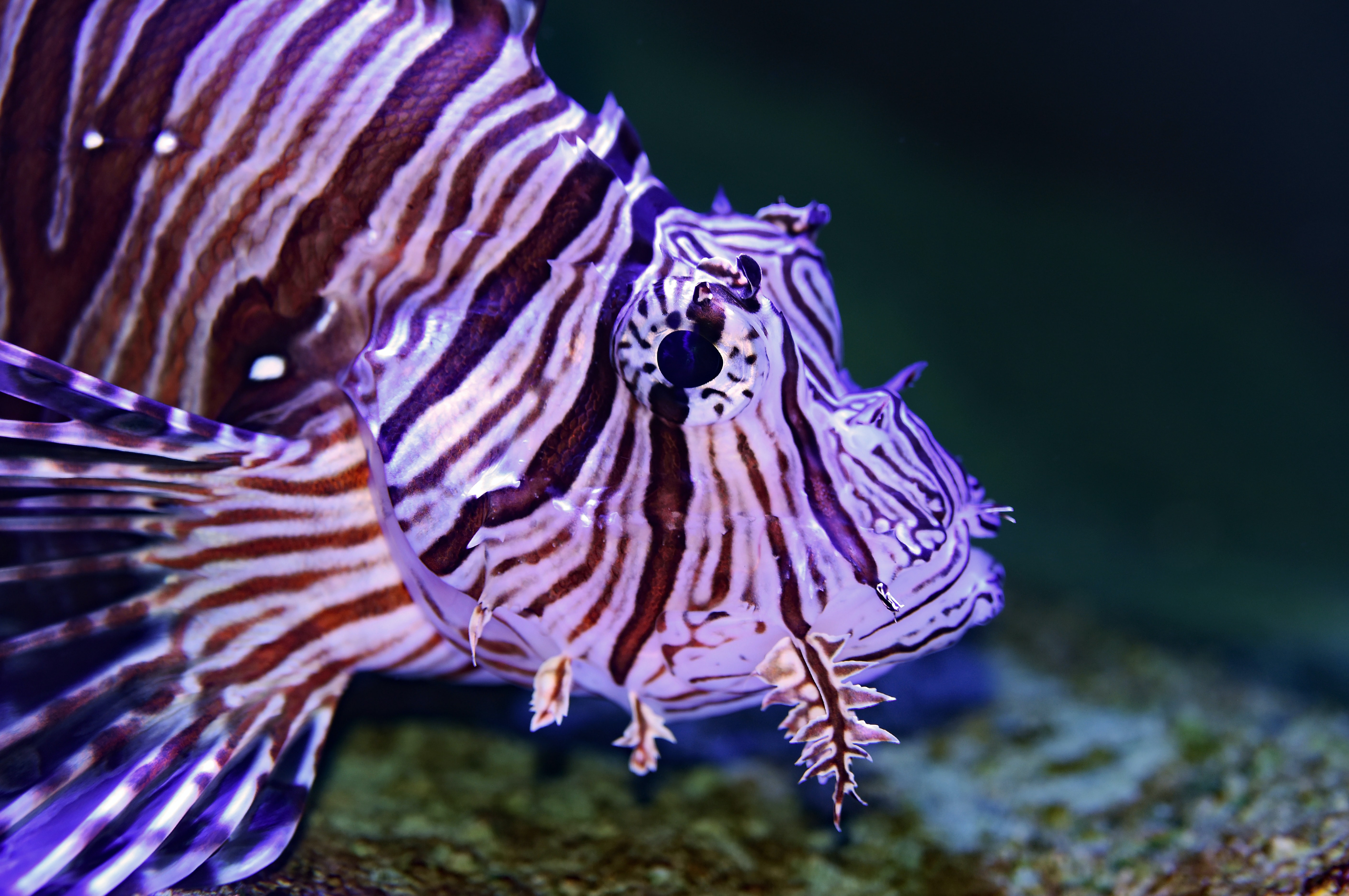 black and white lion fish macro photography