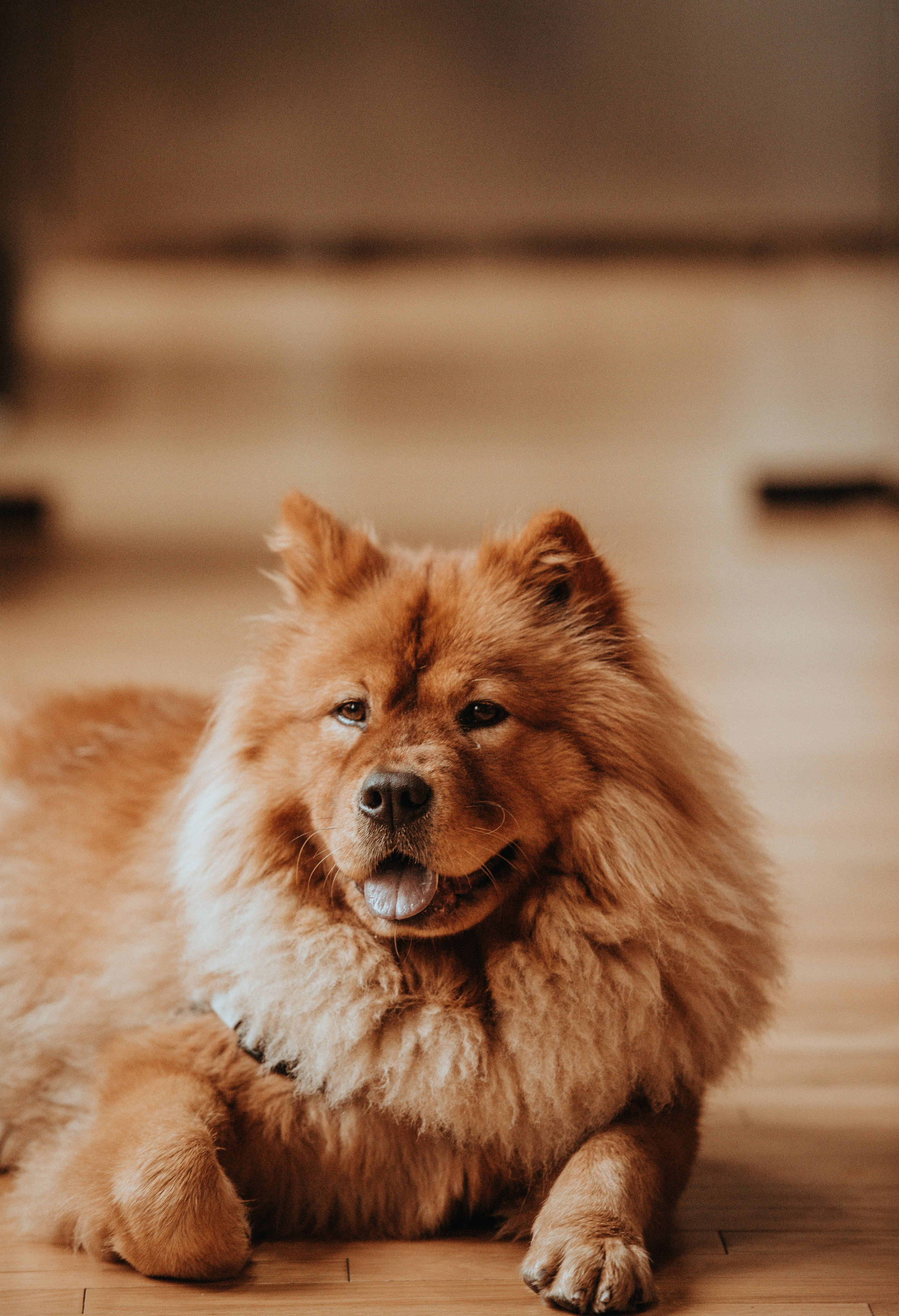 adult red chow chow on floor