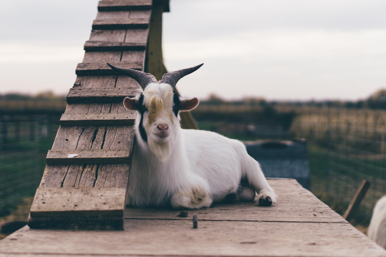 white goat on brown wooden platform