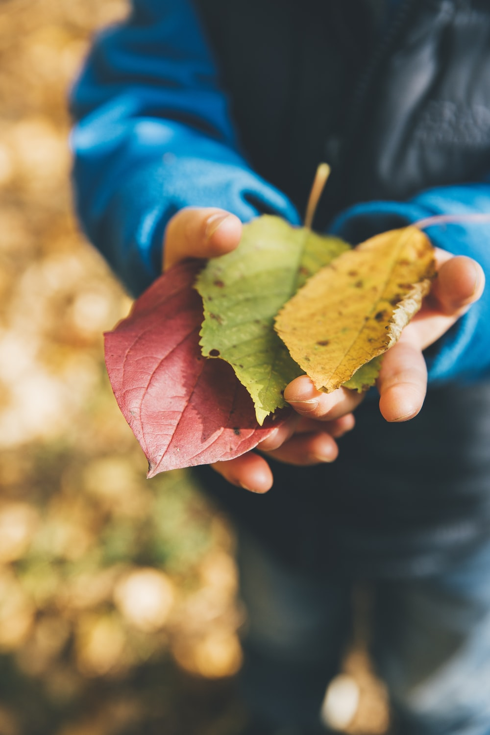three green, yellow, and red leaves on person's hand