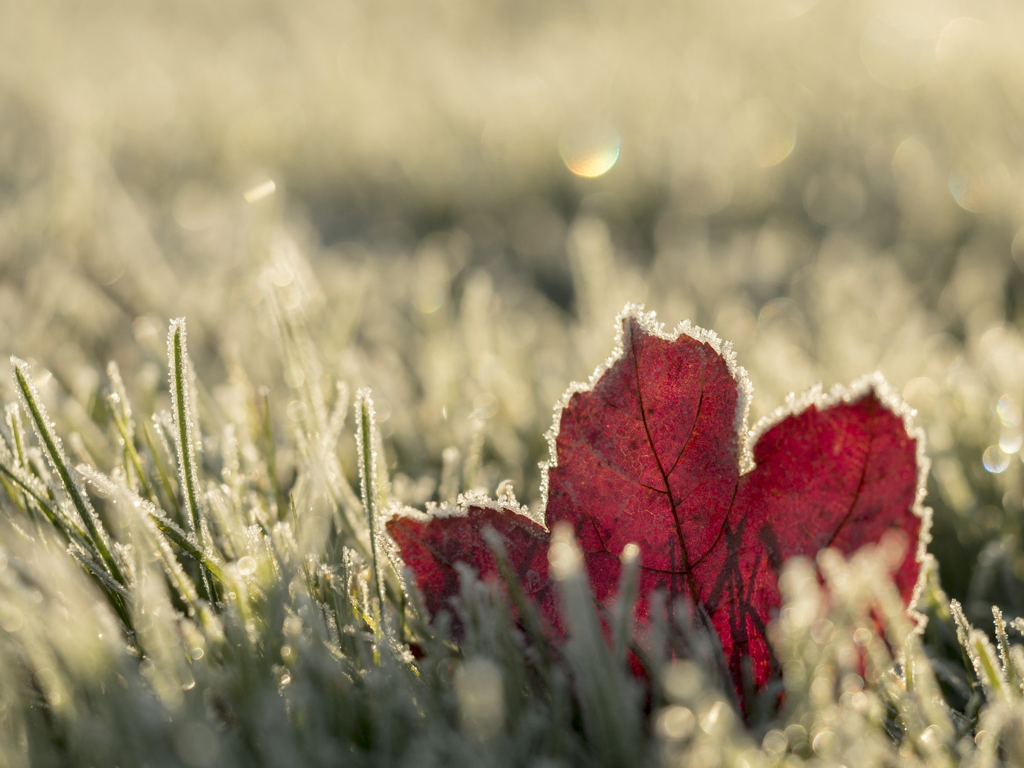 close up photo of red maple leaf on grass