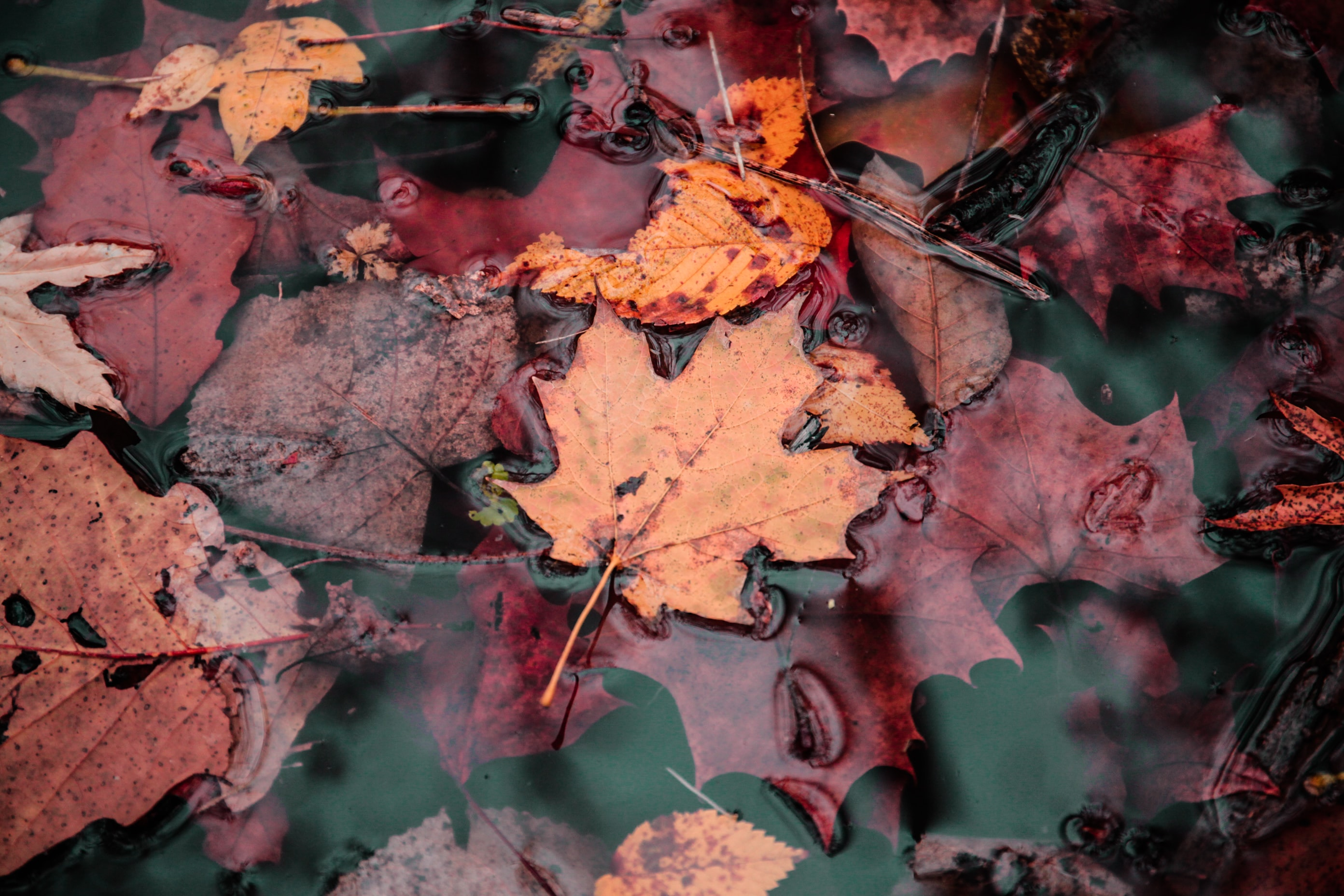 pile of maple leaves floating on water