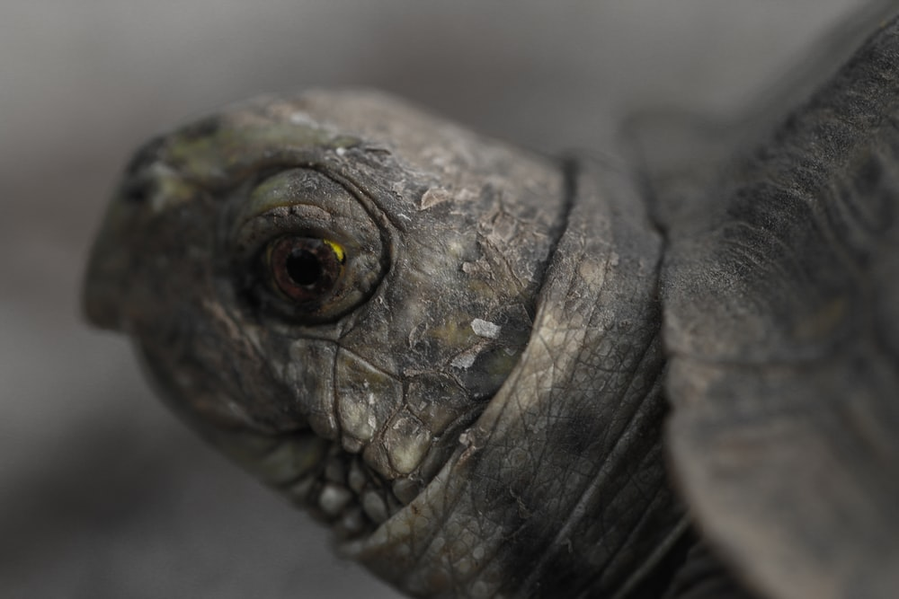 shallow focus photography of gray turtle