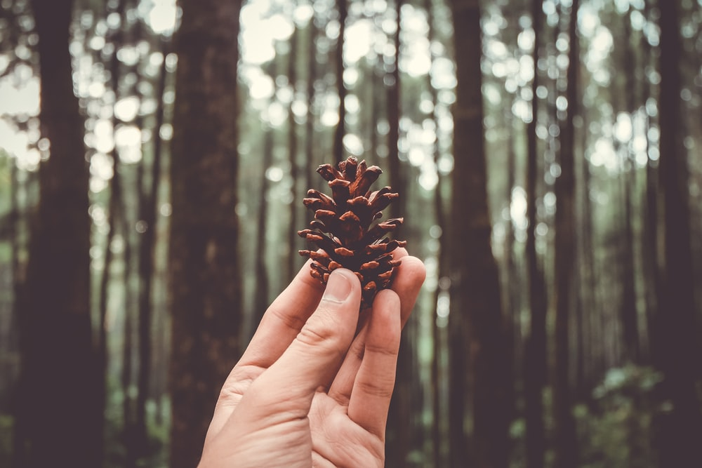 selective focus photography of person holding pinecone