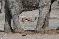 elephant walking near deer