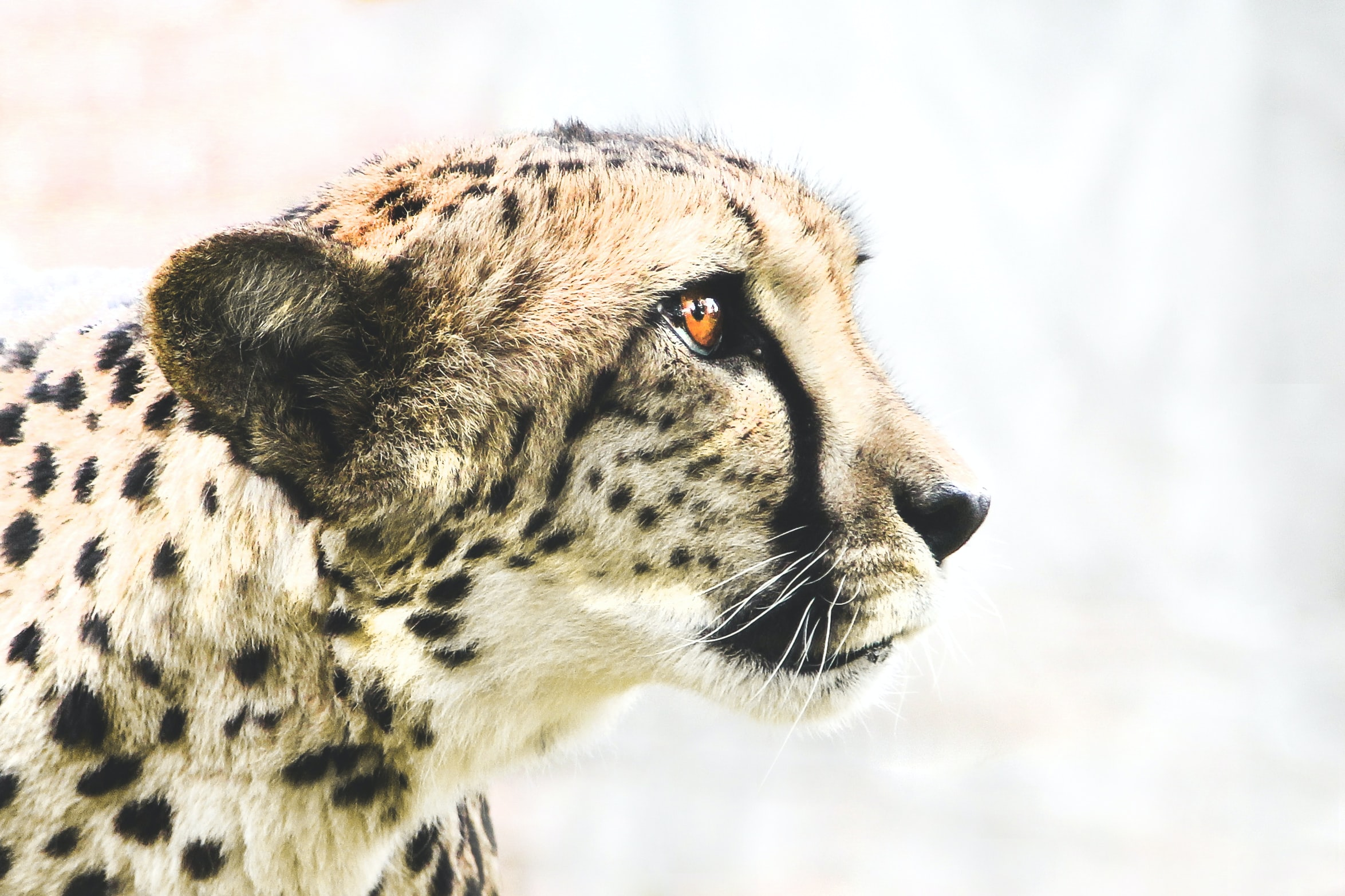 photo of brown and black cheetah