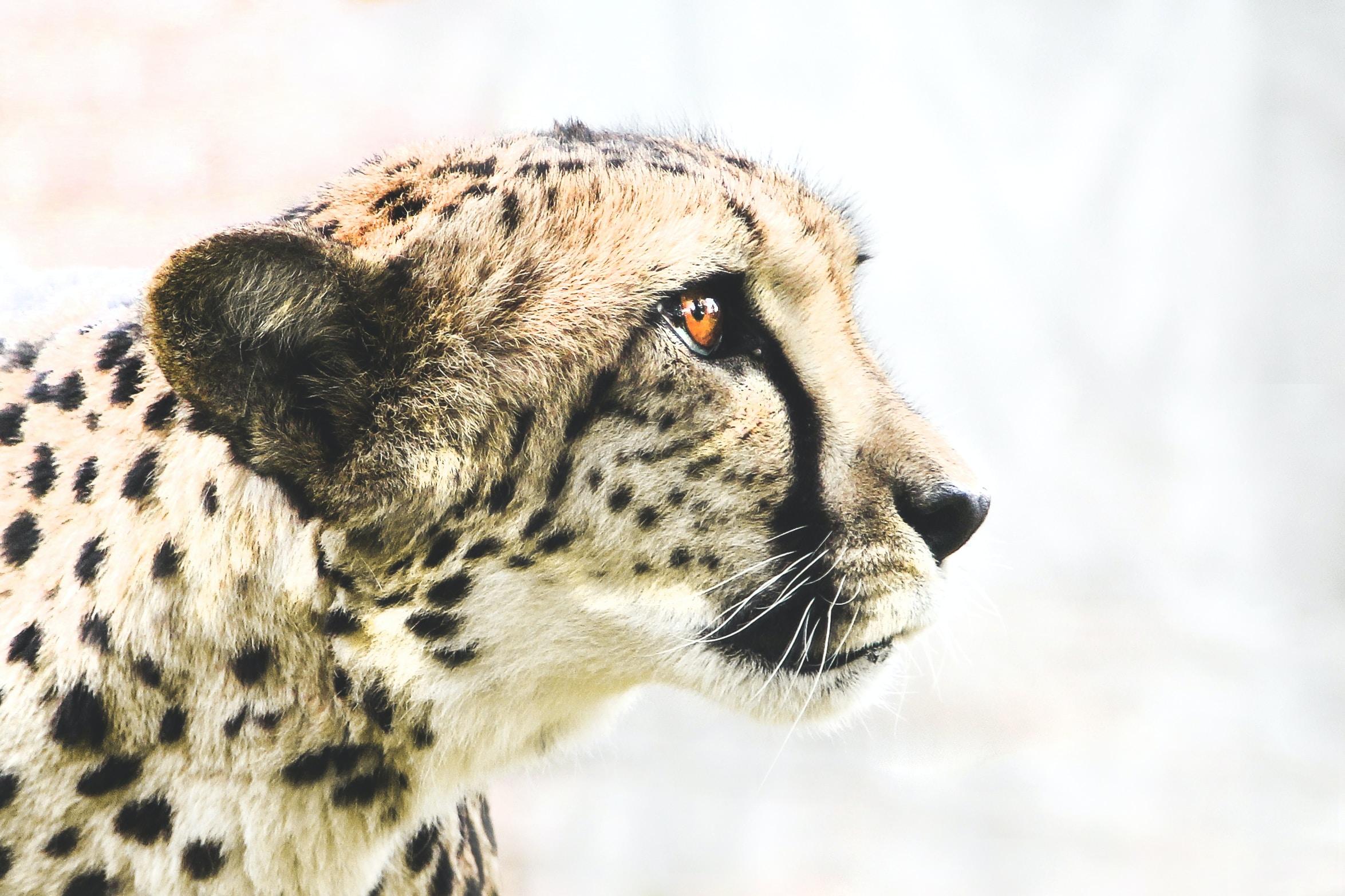 photo of brown and black cheetah