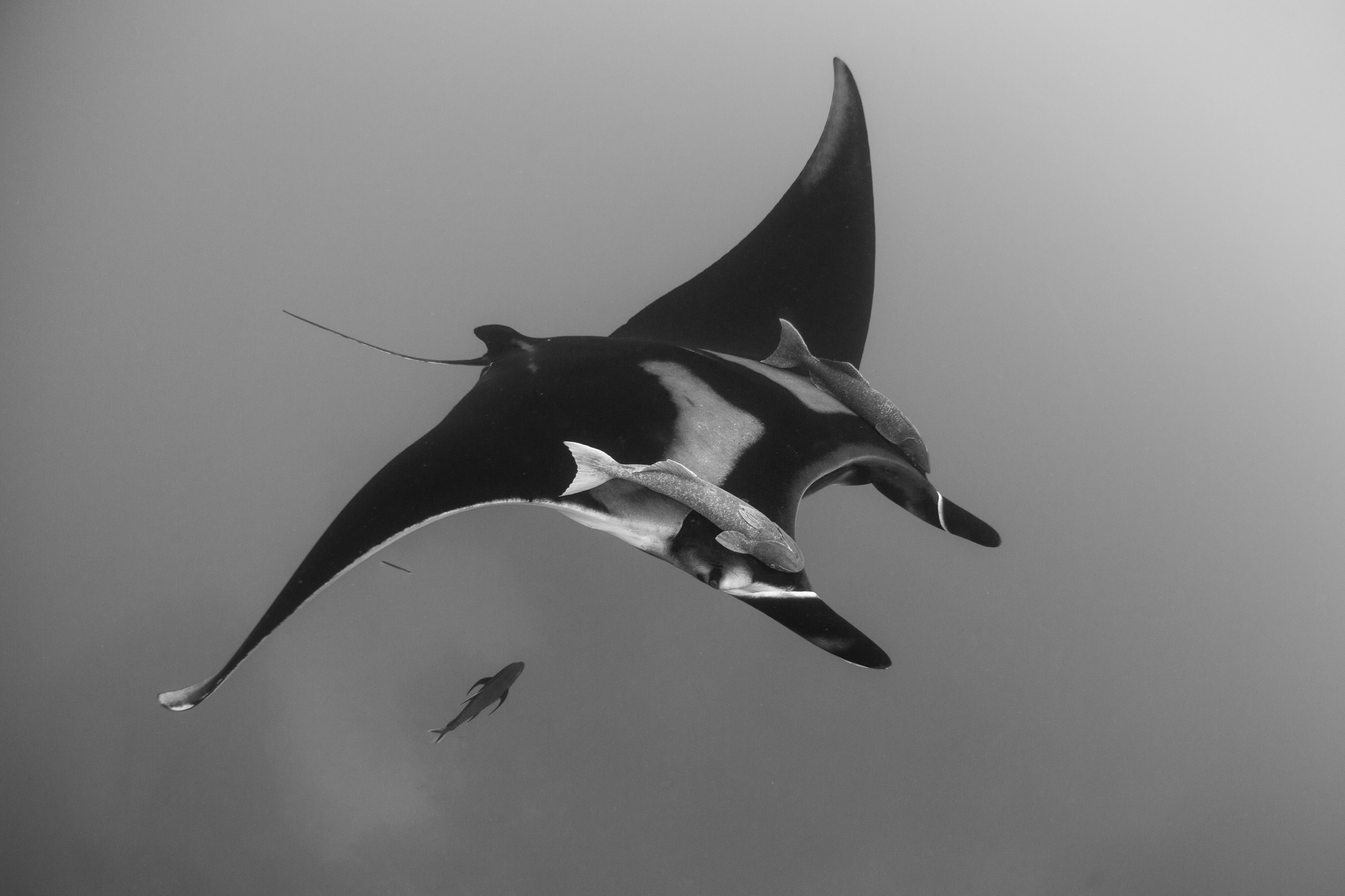 grayscale photo of sting ray