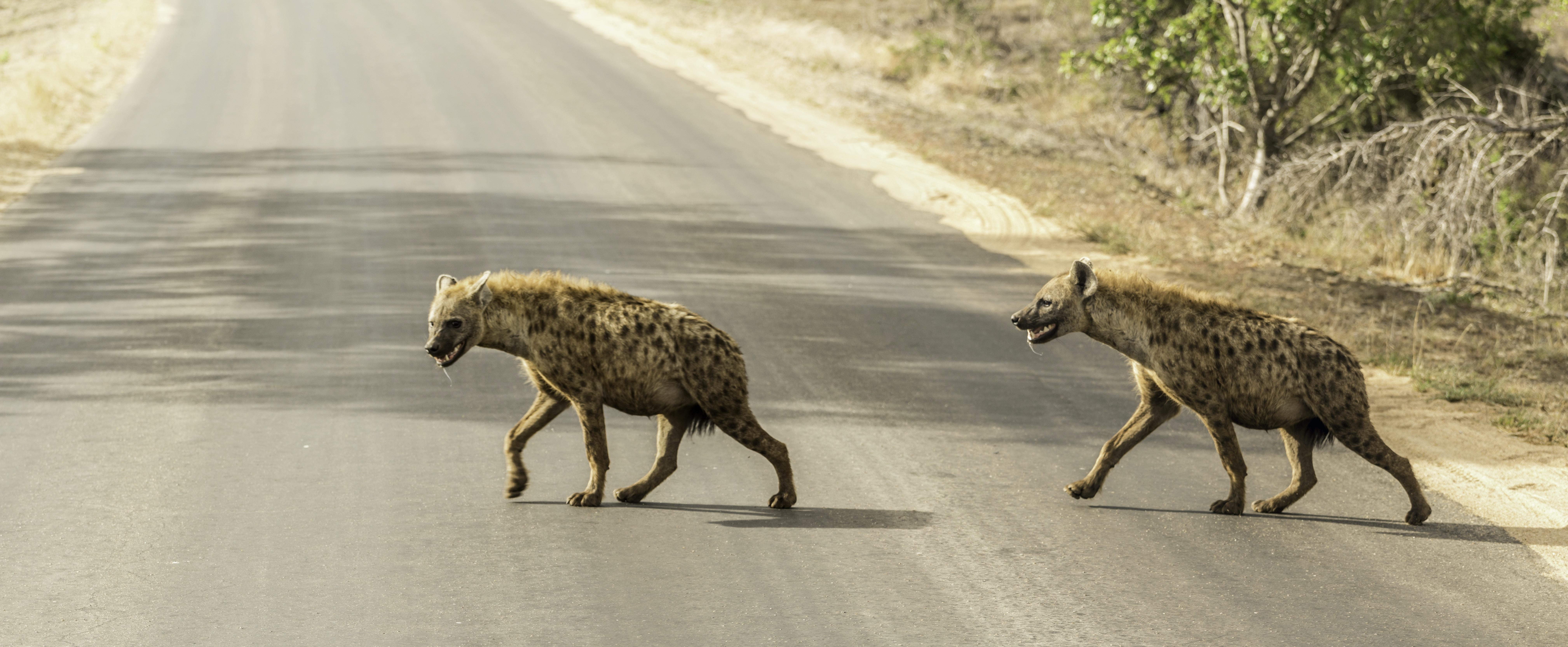 two hyena crossing concrete road